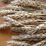 Яровая пшеница мягких сортов