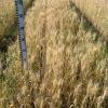 Пшеница мягкая озимая сорт Северодонецкая Юбилейная