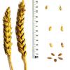 Пшеница мягкая озимая сорт Золушка
